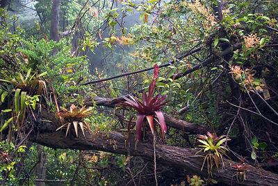 A fairytale scene in the beautiful cloud forests on the summit of Volcan Poas, Costa Rica.