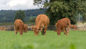 Herd of Limousin cattle on pasture land in Cumbria, UK.
