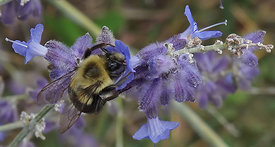 Bombus species at New York, US on Perovskia