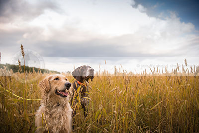 two dogs sitting at attention in wheat under sky with clouds