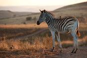 Young Burchell's zebra (Equus burchellii), Ithala Game Reserve, South Africa