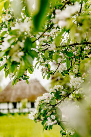 Apple blossoms 9