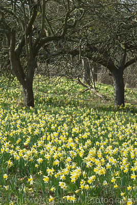 Narcissus pseudonarcissus, wild daffodils, growing in Gwen and Vera's Fields, a small Nature Reserve in Gloucestershire, in a...