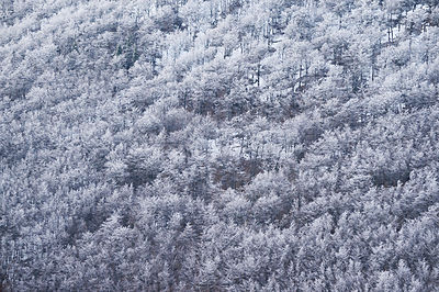 Forest of Beech trees (Fagus sylvatica) covered in frost, Velebit Mountains Nature Park, Croatia, April 2014.