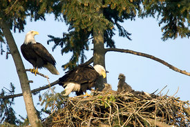 April - Bald Eagles with young