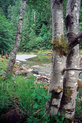 Alder trees along the banks of Wild and Scenic Quartzville Creek, Oregon Cascades.