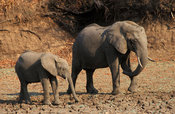 African elephant with young (Loxodonta africana), South Luangwa National Park, Zambia