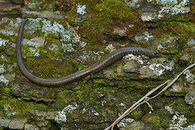 Batrachoseps nigriventris - Black-bellied salamander & it's habitat at Ft. Tejon , Caifornia  (2006/03/22)