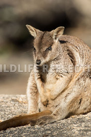 rock_wallaby_mareeba_rock_sit-6
