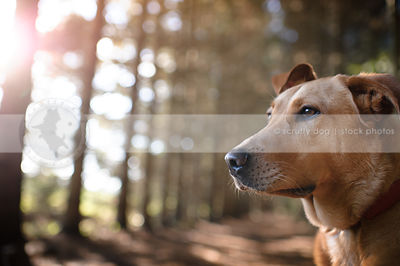 headshot of tan hound dog in pines with bokeh background