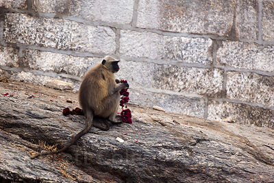 A langur monkey eats roses from a garland at the Ajaypal Shiva Temple, near Pushkar, Rajasthan, India
