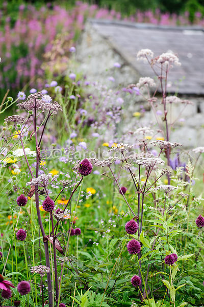 Allium sphaerocephalon and angelica in a meadow style planting with barn and block of pink rosebay willow herb on the slope b...