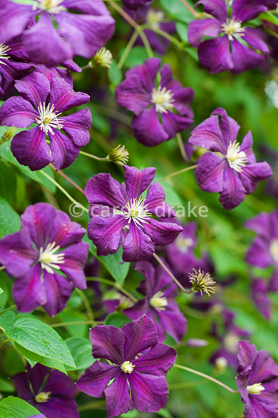 Clematis 'Etoile Violette'. The Bay Garden, Camolin, Co Wexford, Ireland