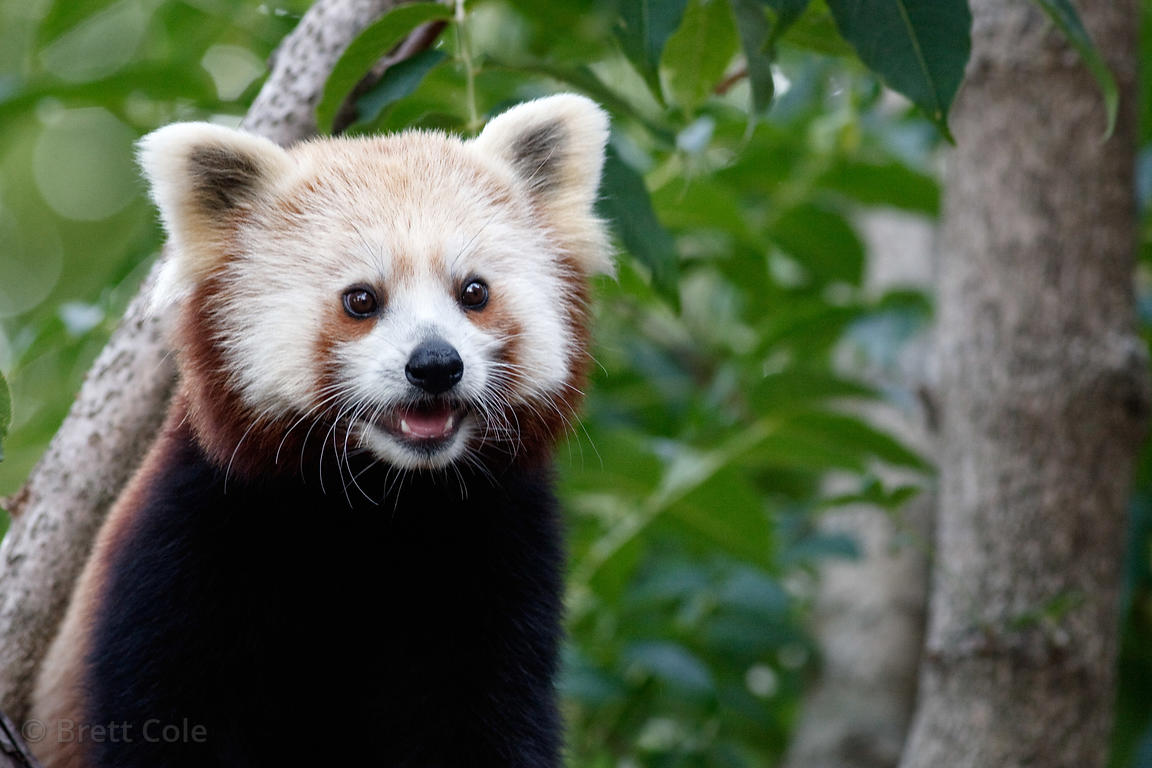 Red panda (Ailurus fulgens), National Zoo, Washington, D.C.