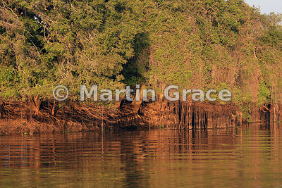 Golden early morning sunlight illuminates hanging vines and the roots of a riverside tree, Dark Creek, River Cuiabá, Mato Gro...
