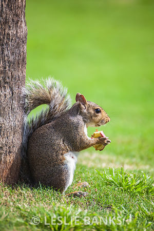 Squirrel Eating Apple at a Park