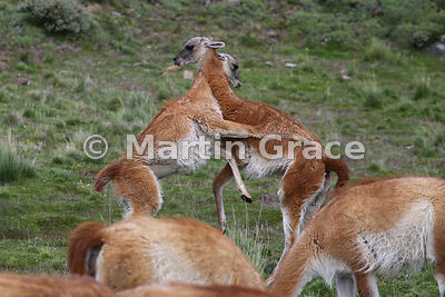 Two adolescent male Guanacos (Lama guanicoe) sparring with each other, Torres del Paine National Park, Patagonia