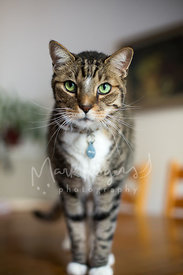 Green-eyed, brown striped Tabby Cat Standing on Table