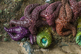 Ochre Stars and Giant Green Anemones in Olympic National Park