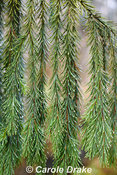 Picea breweriana, Brewer's Weeping Spruce
