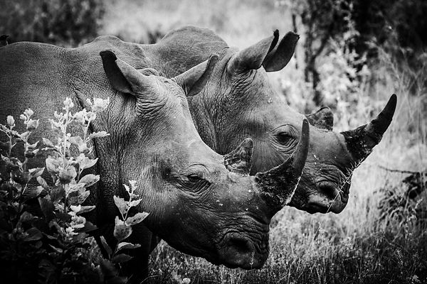 4900-Rhino-Horn_of_Africa_II_South_Africa_2004_Laurent_Baheux