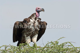 lappet_vulture_acacia_top201106