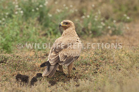 tawny_eagle_ground_2w