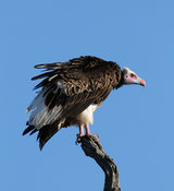Whiteheaded vulture perched on top of log