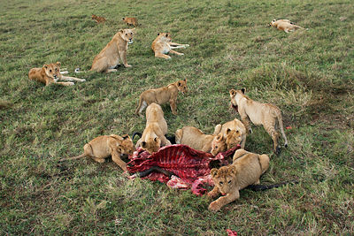 Lion pride (Panthera leo) feeding on kill, Masai Mara National Reserve, Kenya