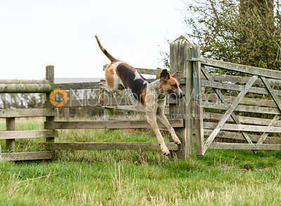 Cottesmore Benson jumping a hunt jump near Peake's. The Cottesmore Hunt at Somerby