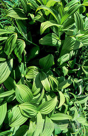 Green False Hellebore Vegetation