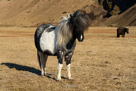 An Icelandic horse on the Southern coast of Iceland.