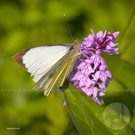 Male Large White Butterfly: Pieris brassicae