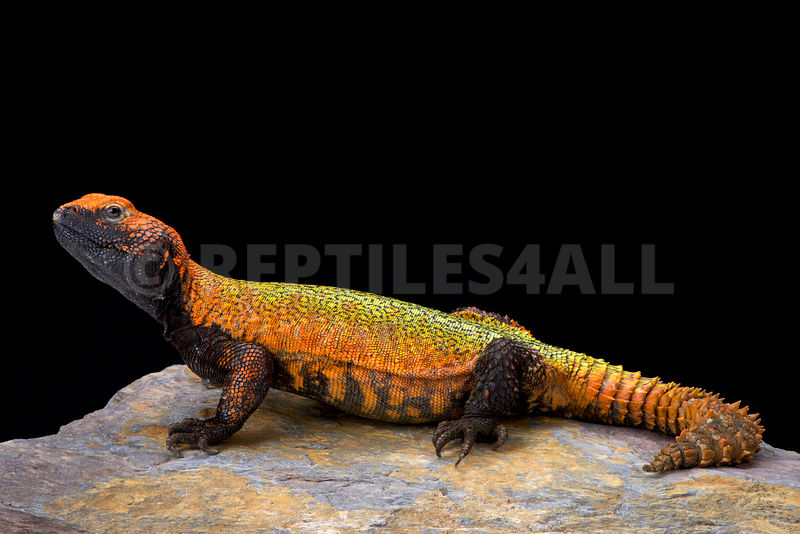 North African Spiny-tailed Lizard (Uromastyx acanthinura)