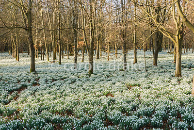 Thousands of gleaming snowdrops, Galanthus nivalis, carpet the ground beneath beech trees at Welford Park, Welford, Newbury, ...