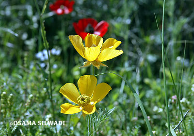 The Wildflowers of Palestine