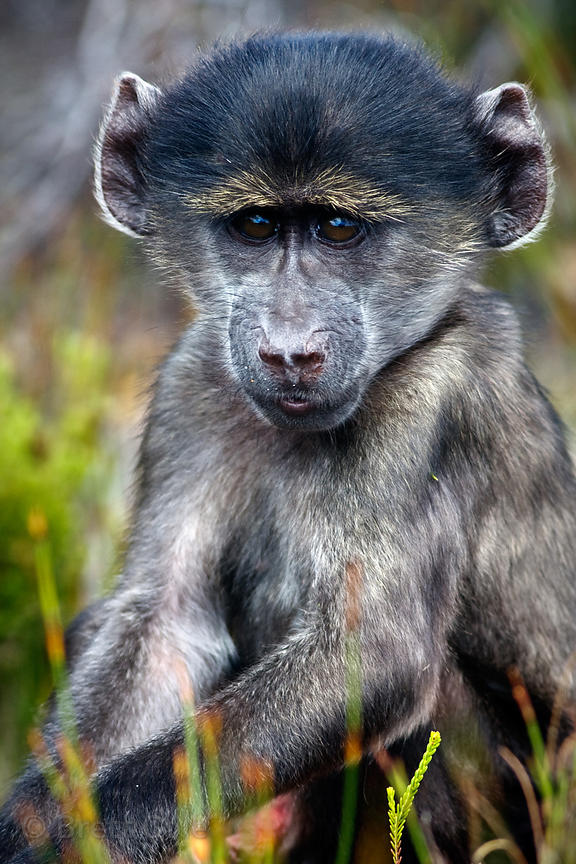 A baby chacma baboons in natural fynbos, Smitswinkel Flats, Cape Peninsula, South Africa