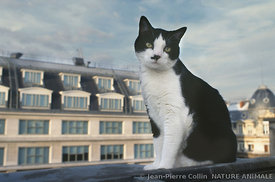 Chat sur toit de Paris