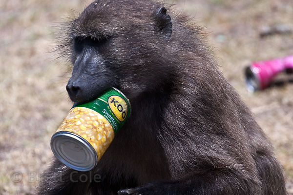 Chacma baboon from the Buffels bay troop playing with garbage left by picnicers, Buffels Bay, Cape Peninsula, South Africa
