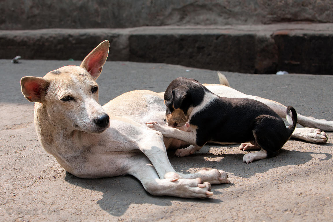 A stray puppy nurses on its mother in the Bowbazar area of Kolkata, India.