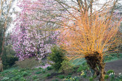 Pollarded willow illuminated by early morning sunlight with pink Magnolia sprengeri 'Marwood Spring' beyond, beside the top p...