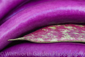 Aubergine 'Farmers Long' and Climbing French Borlotto Bean. © Jo Whitworth