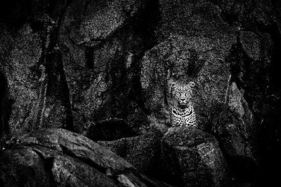 05528-Leopard_Laurent_Baheux