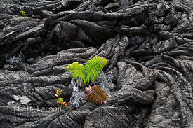 Starting Over - New Growth in the Volcano Lava