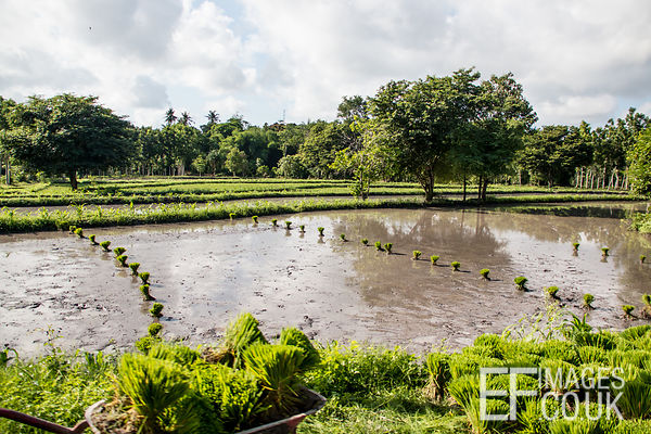 Rise Paddies Ready For Planting, Lombok Indonesia
