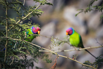 Colorful parakeets (sp.) in a tree in the Thar Desert, Ajaypal, Rajasthan, India