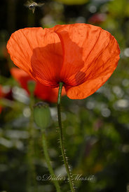 Coquelicot Ennery Val d'Oise 06/09