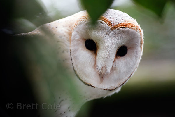 African barn owl (Tyto alba affinis), World of Birds, South Africa (captive)