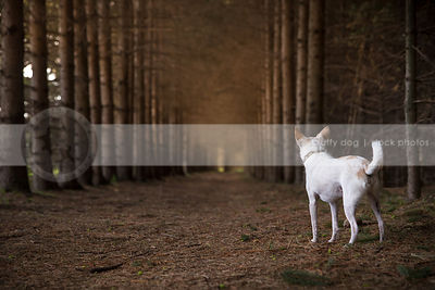 mixed breed dog from behind looking away standing in tunnel of pine trees