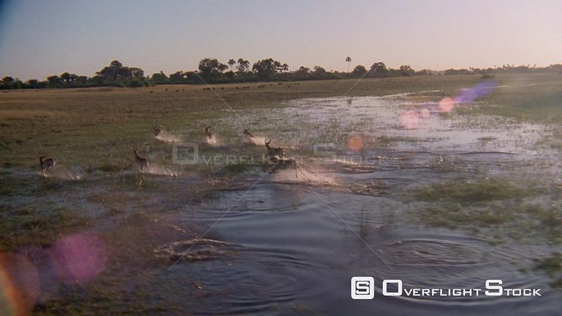 Slow motion aerial wide angle herd of antelope running and jumping through flooded plain, three run out of frame, camera foll...